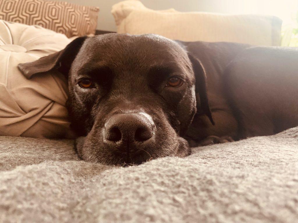 Pitbull Gavin Sleeping