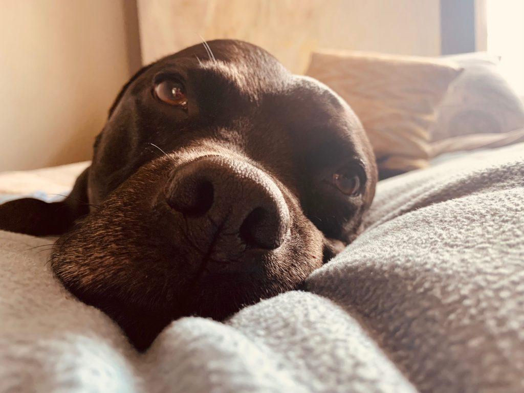 Pitbull Gavin enjoying a nap
