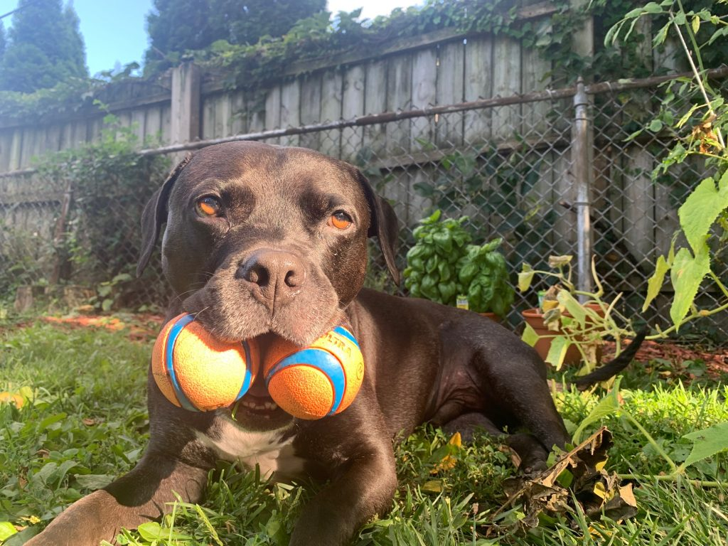 Pitbull Gavin enjoying backyard time with his Chuck-It balls