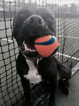 Pit bull Gavin sitting politely with his ball