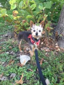 "Yorkie mix ""Winston"" waiting nicely on leash"